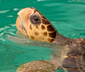 Sapphire, a rescued loggerhead sea turtle, will travel from Miami to her new home near San Diego Thursday.