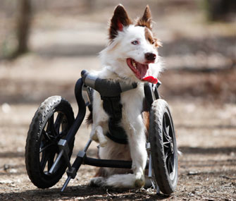 Roosevelt is off and running now with a wheelchair specially made for his front legs.
