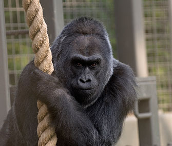 Colo the gorilla turns 56 on December 22.