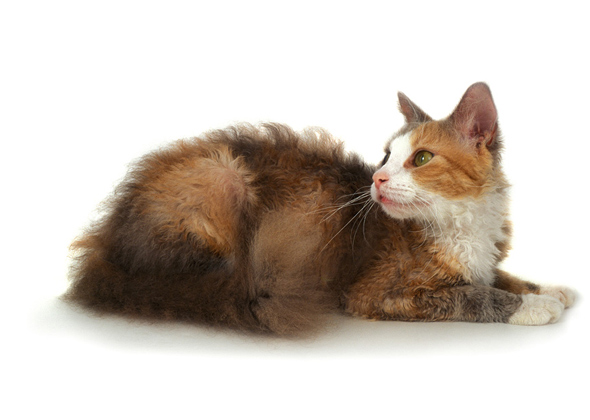 LaPerm, a cat breed you've probably never heard of