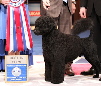 Matisse, a Portuguese Water Dog, won Best in Show at the AKC/Eukanuba National Dog Show.
