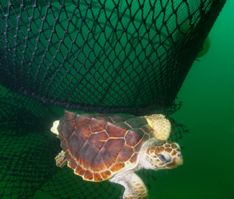 loggerhead turtle escaping a net