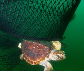 loggerhead turtle escaping a net