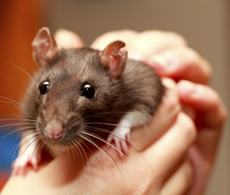 Pet rat in owner's hands