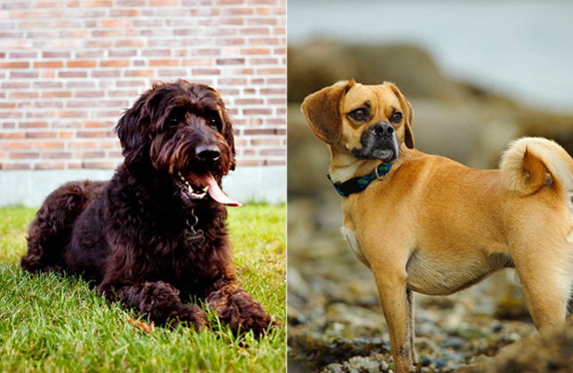 Designer Dogs Labradoodle and Puggle