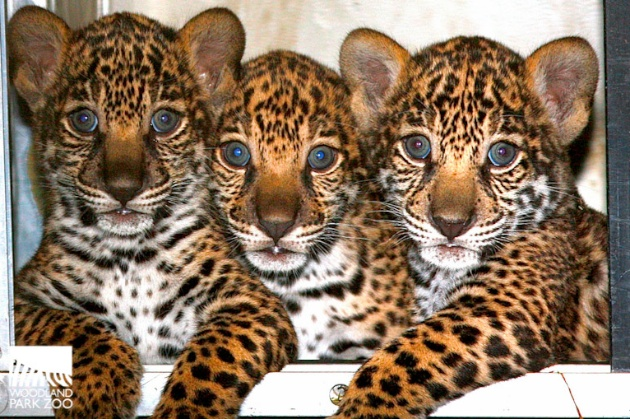 Woodland Park Zoo's three jaguar cubs