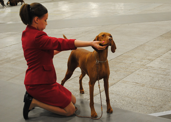 Vizsla and junior handler at National Dog Show