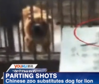 A zoo in China allegedly had this Tibetan Mastiff masquerading as an African lion.