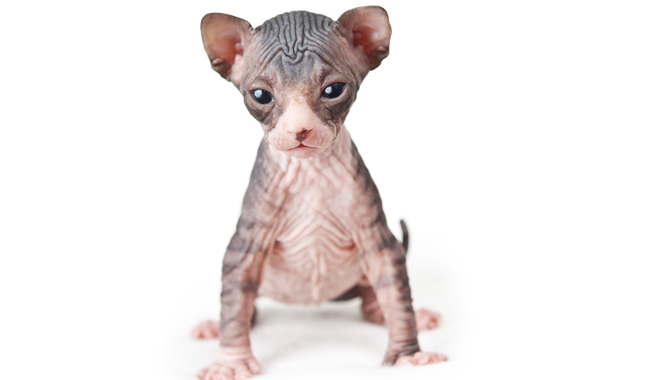 Hairless Simease Cat Breeds