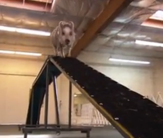 Amy the pig shows off her talent in her dog agility class.