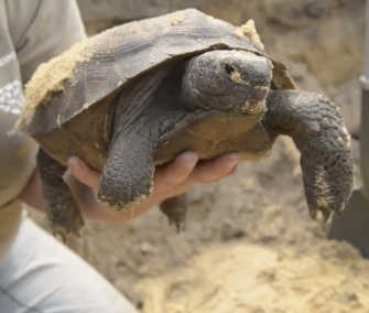 Workers from the Humane Society saved gopher tortoises from a construction site in Florida.