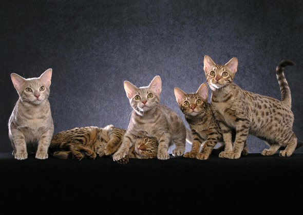Ocicat, a cat breed you've probably never heard of