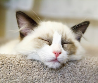 Ragdoll Kitten Sleeping