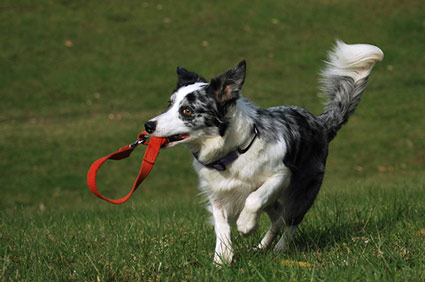 Dog running with leash in his mouth