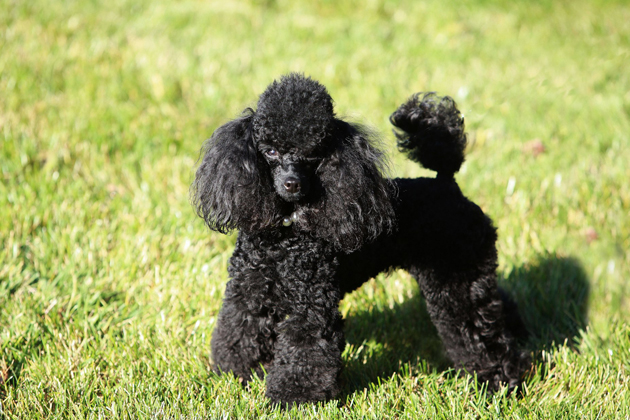 Miniature or Toy Poodle — Small but Smart
