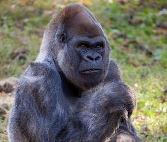 Ozzie, a western lowland gorilla at Zoo Atlanta, turned 52 this week.