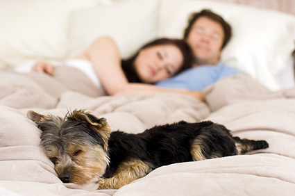 Dog sleeping in bed with owners.