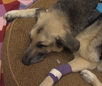 Maverick, a 12-year-old German Shepherd, survives being trapped in a sinkhole.
