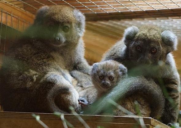 Bristol Zoo lemurs