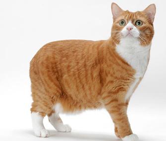 Orange and white Manx cat