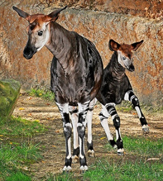 The L.A. Zoo's first okapi calf is now 3 months old and galloping around his enclosure with his mom.