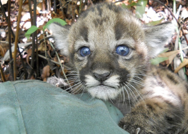 Biologists find panther kitten in Florida