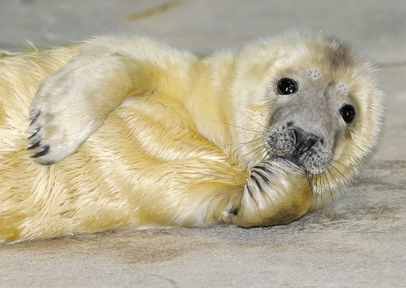 Brookfield Zoo Seal Pup