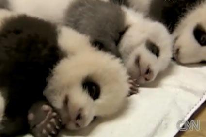 Baby pandas video