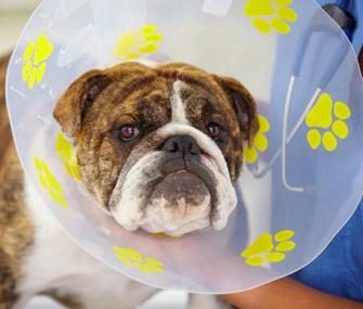 Dog wearing cone of shame