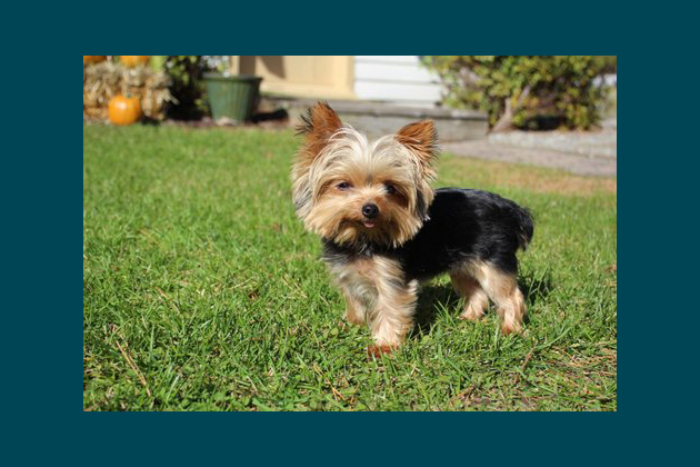 Lucy, The World's Shortest Working Dog