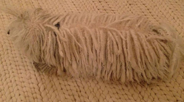 dog who looks like a mop
