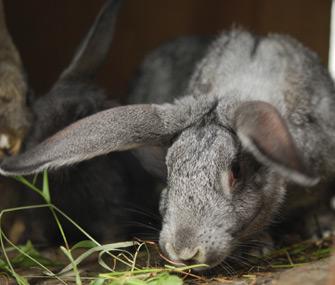 Rabbit sniffing hay