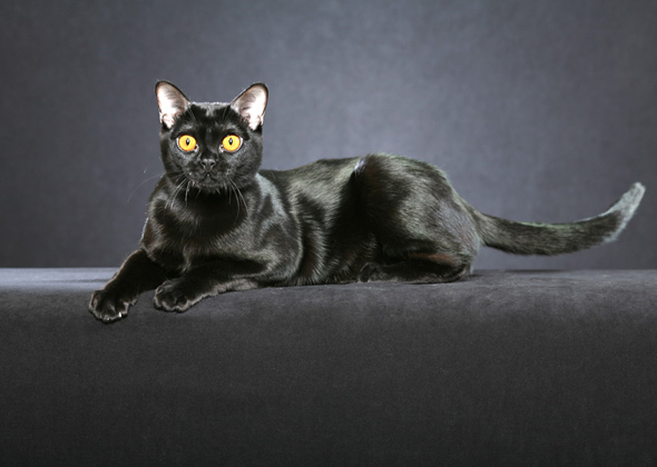 Bombay, a cat breed you've probably never heard of