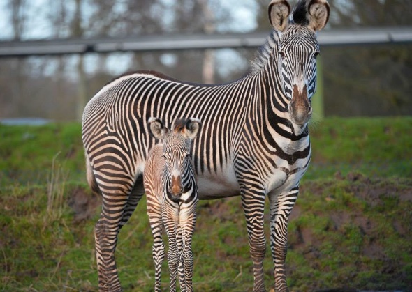 This Grevy's zebra was born at the Chester Zoo