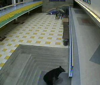 Black bear inside Alaska high school