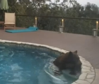 During a heat wave in California, a bear was caught on video going for a swim in a backyard pool.