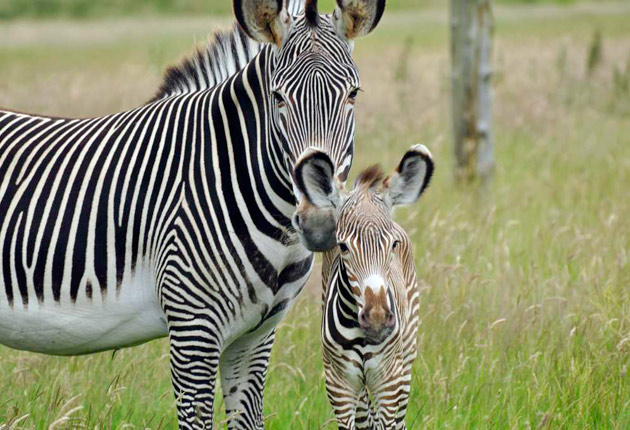 Zebra baby and mother - photo#22