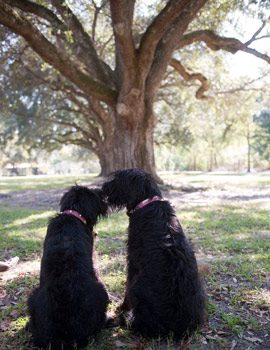 Sissy and Sam the Schnauzers wear pink alligator collars from Swamp Dogs of LA