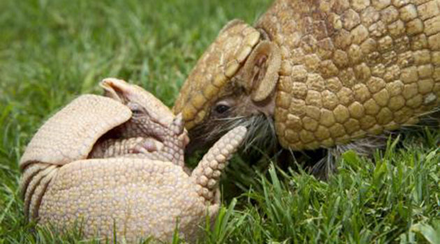 Baby armadillo with mom at Busch Gardens Tampa