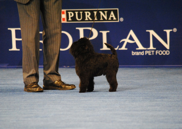 Affenpinscher, Toy Group Winner for 2012 National Dog Show