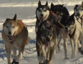 Dogs race in the Iditarod