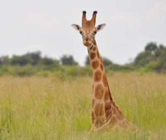 This Nubian giraffe in Uganda is part of the northern giraffe species.