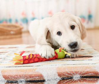 Puppy chewing toy on rug