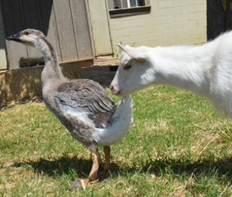 """Ryan Gosling"" the baby goose has become fast friends with Hemingway, a baby goat at the Farm Sanctuary."