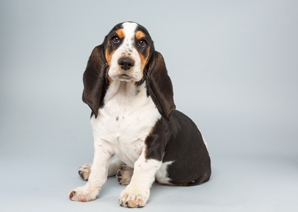 Lily, Basset Hound, Animal Planet Puppy Bowl X