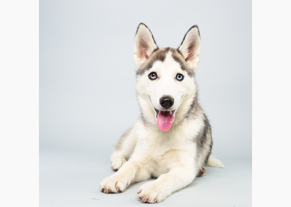 Suri, Siberian Husky, Animal Planet Puppy Bowl X