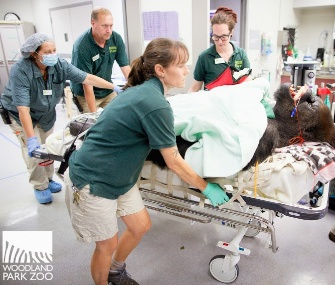 Vip, a gorilla who lives at the Woodland Park Zoo, had surgery to relieve a sinus infection.