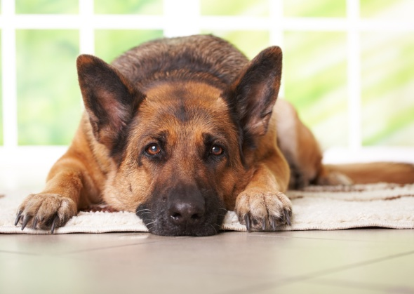 Image result for istock german shepherd laying down