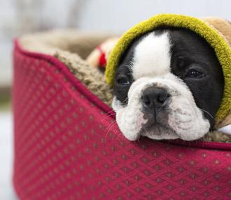 Puppy under blanket in bed