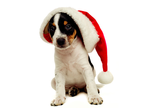 Jack Russell Terrier puppy wearing Christmas hat